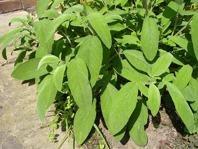 800px-Salvia_officinalis2