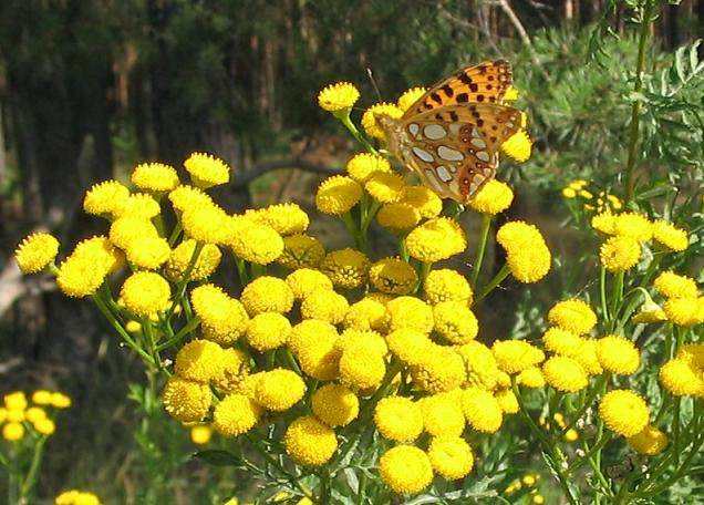 Tansy_and_Queen_of_Spain_Fritilllary